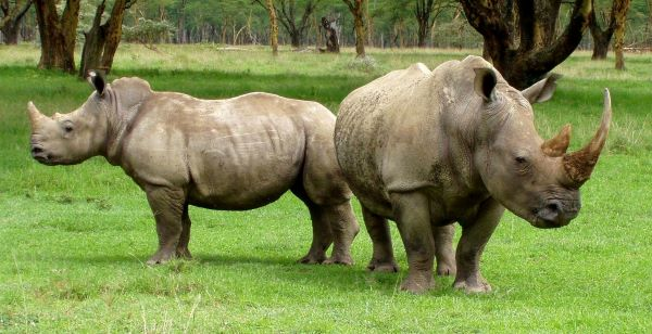 White rhinos have small genetic diversity